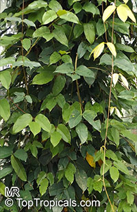 Mucuna sempervirens  Click to see full-size image