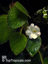 Nautilocalyx adenosiphon, Nautilus Plant  Click to see full-size image