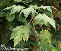 Obetia ficifolia, Urtica ficifolia, Bois d'ortie  Click to see full-size image