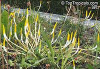 Orontium aquaticum, Golden-club, Floating Arum, Never-Wets, Tawkin  Click to see full-size image