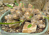 Pachypodium densiflorum, Pachypodium  Click to see full-size image