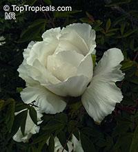 Paeonia rockii, Rock's Peony, Tree Peony  Click to see full-size image