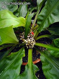 Palisota bracteosa, Palisota  Click to see full-size image