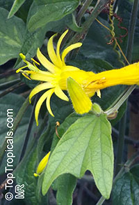 Passiflora citrina, Yellow Passion Flower  Click to see full-size image