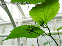 Pavonia sepioides, Pavonia sepium subsp. macrocarpa, Pavonia  Click to see full-size image