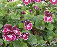 Pelargonium sp., Pelargonia, Geranium  Click to see full-size image