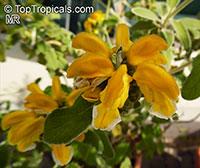 Phlomis fruticosa, Jerusalem Sage  Click to see full-size image