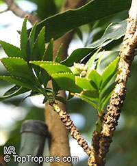 Phyllanthus arbuscula, Phyllanthus   Click to see full-size image