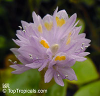 Pontederia rotundifolia, Tropical Pickerelweed  Click to see full-size image