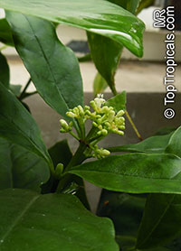 Psychotria carthagenensis, Psychotria alba, Amyruca  Click to see full-size image