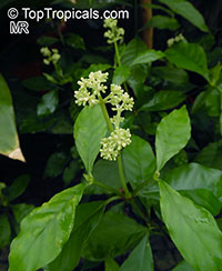 Psychotria viridiflora  Click to see full-size image