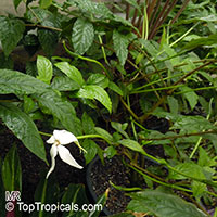 Rosenbergiodendron longiflorum, Randia ruiziana, Randia formosa var. longiflora, Gardenia longiflora, Angel of the Night  Click to see full-size image