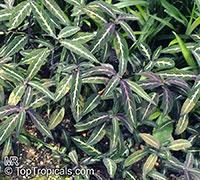 Ruellia devosiana, Brazilian Wild Petunia  Click to see full-size image