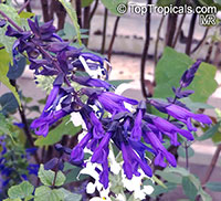 Salvia guaranitica, Anise-scented Sage, Hummingbird Sage  Click to see full-size image
