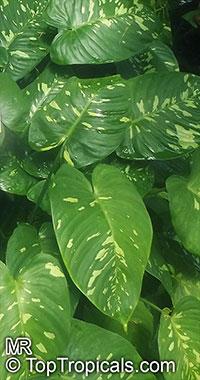 Schismatoglottis calyptrata, Schismatoglottis neoguineensis, Dukaruk  Click to see full-size image