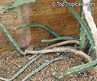 Selenicereus setaceus, Hylocereus setaceus, Pineapple Cactus  Click to see full-size image