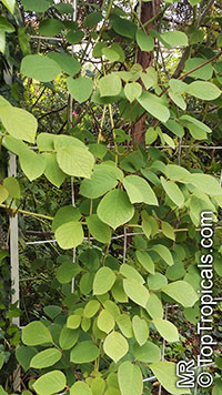 Sinofranchetia chinensis, Sinofranchetia  Click to see full-size image