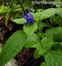 Stachytarpheta sp., Porterweed, Brazilian Tea  Click to see full-size image