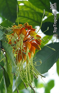Steriphoma peruvianum, Morisonia peruviana  Click to see full-size image