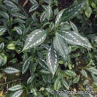 Sympagis maculata, Strobilanthes maculatus, Green Shield  Click to see full-size image