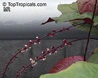 Trichostigma peruvianum, Trichostigma  Click to see full-size image