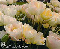 Tulipa sp., Tulip  Click to see full-size image