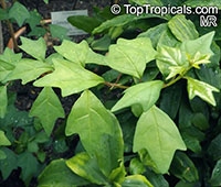 Turraea heterophylla, African Honeysuckle  Click to see full-size image