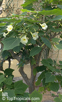 Harpagophytum leptocarpum, Uncarina leptocarpa, Uncarina  Click to see full-size image