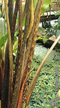 Urospatha friedrichsthalii, Urospatha grandis  Click to see full-size image