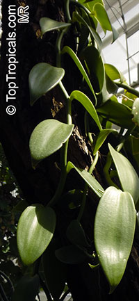 Vanilla sp., Vanilla Orchid  Click to see full-size image
