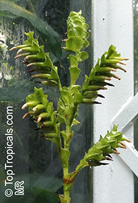 Vriesea sp., Bromeliad  Click to see full-size image