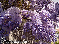 Wisteria sp., Chinese Wisteria, Japanese Wisteria, American Wisteria  Click to see full-size image