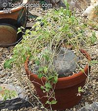 Xerosicyos pubescens, Zygosicyos pubescens, Xerosicyos  Click to see full-size image