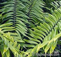 Zamia fairchildiana, Fairchild's Zamia   Click to see full-size image