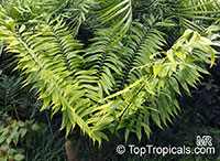 Zamia fairchildiana, Fairchild's Zamia   Click to see full-size image