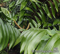 Zamia sp., Coontie Palm  Click to see full-size image