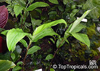 Zingiber zerumbet, Pine Cone Ginger, Shampoo Ginger  Click to see full-size image