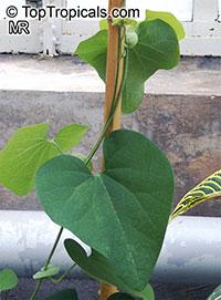 Aristolochia sp., Aristolochia  Click to see full-size image
