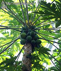 Carica papaya, Papaya  Click to see full-size image