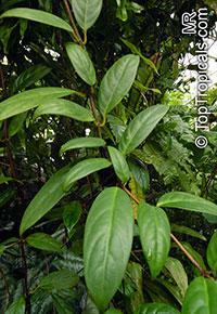 Drymonia sp., Drymonia  Click to see full-size image