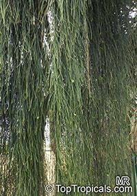 Maerua filiformis, Maerua  Click to see full-size image