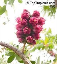 Melaleuca elliptica, Granite Bottlebrush, Granite Honey Myrtle  Click to see full-size image