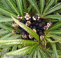 Osmoxylon lineare, Boerlagiodendron lineare, Miagos bush  Click to see full-size image