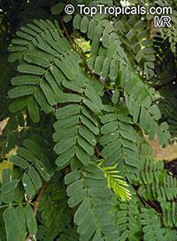 Tamarindus indica, Tamarind, Sampalok  Click to see full-size image