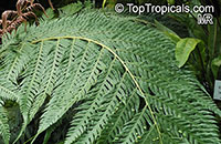 Woodwardia orientalis, Oriental Chain Fern  Click to see full-size image