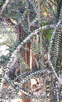 Alluaudia procera, Madagascar Ocotillo, Madagascan Ocotillo, African Ocotillo  Click to see full-size image