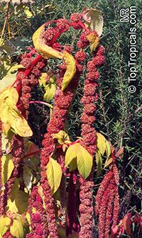 Amaranthus sp., Amaranth  Click to see full-size image