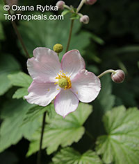 Anemone sp., Windflower  Click to see full-size image