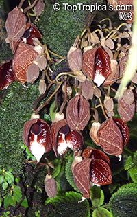 Aristolochia arborea , Aristolochia Tree  Click to see full-size image