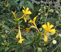 Barleria sp., Barleria  Click to see full-size image